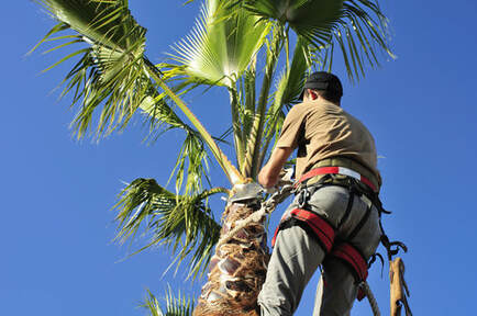 A tree worker trimming a palm tree.