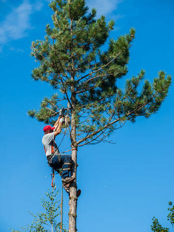 A tree trimmer high on a tree.
